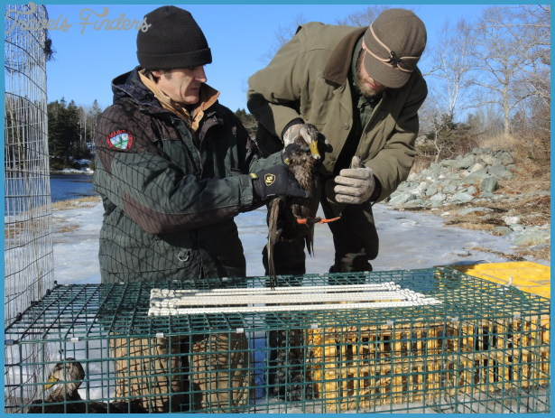 Once inside the fencing, the ducks are led into a smaller crate, and ...