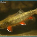 Brook_Trout_CherokeeNF