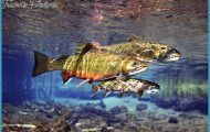 Brook Trout. Image courtesy of