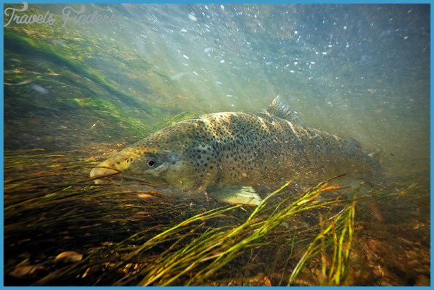 Fall Fly Fishing Photography - Brown Trout & Rainbow Trout