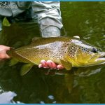 Fly Fishing Brown Trout Brown trout fishing