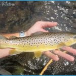 Brown Trout Wild brown trout