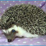 Our Girls » Hazel Mountain Hedgehogs, A Colorado Hedgehog Breeder