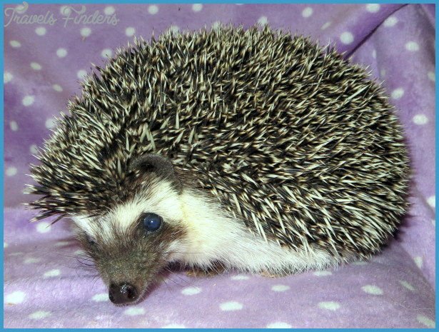 Our Girls » Hazel Mountain Hedgehogs, A Colorado Hedgehog Breeder
