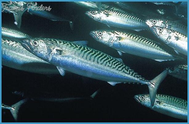 Mackerel Fish | Foto Artis - Candydoll