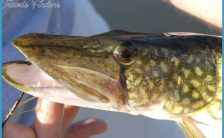 Chain Pickerel - Volume 1