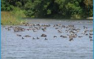 Geese gather on the Prestile Stream in Mars Hill. After decades of ...