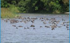 Geese gather on the Prestile Stream in Mars Hill. After decades of