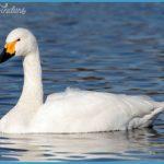 tundra swan bewick s swan whistling swan
