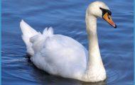 swan swims  by chop-stock on DeviantArt