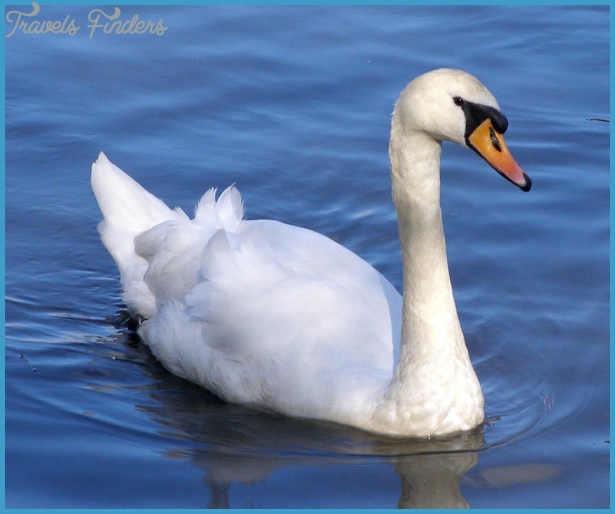 swan swims... by chop-stock on DeviantArt