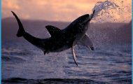 by stephen frink collection the latin name for great white sharks ...