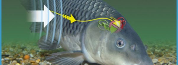 Understanding a fish's hearing