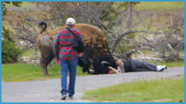 Second Yellowstone visitor injured in bison encounter   fox4kc.com
