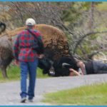 Second Yellowstone visitor injured in bison encounter | fox4kc.com