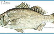 White perch illustration