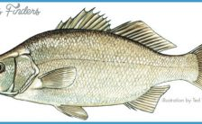 White perch illustration