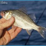 Thread: White Bass or White Perch -- Which is it???