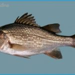 White perch is a small, silvery fish with a dark, highly domed back ...