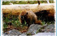 Yellowstone Yellow-bellied Marmot by John William Uhler © Copyright ...