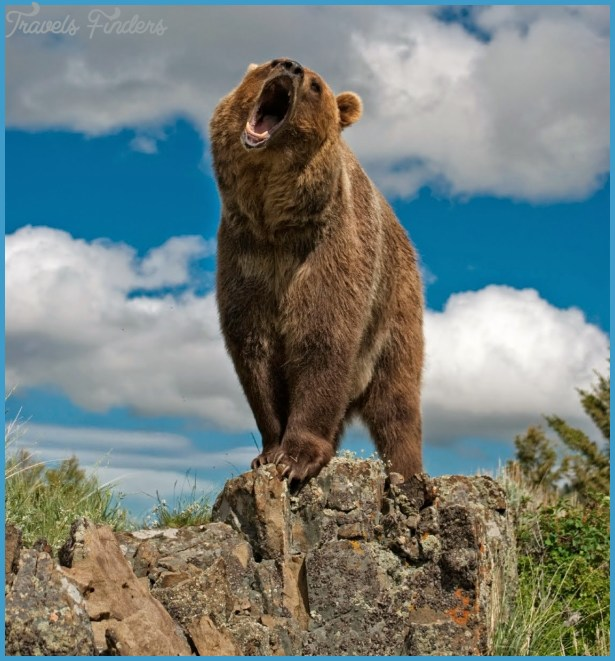 Grizzly bear population density in the Yellowstone National Park (U.S)