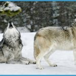 Gray Wolf Habitat Images & Pictures - Becuo