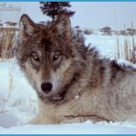 File:Yellowstone-wolf-17120.jpg - Wikipedia, the free encyclopedia