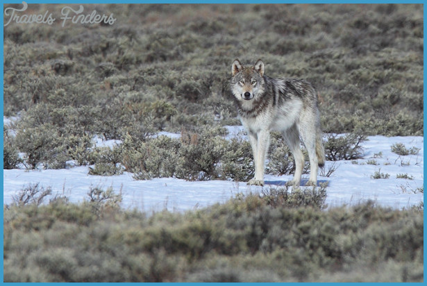 grey wolf, gray wolf, wolf, grey, gray, yellowstone national park ...