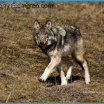 Yellowstone Wolves - Last Howl of the Haydens - Larry Thorngren - The ...