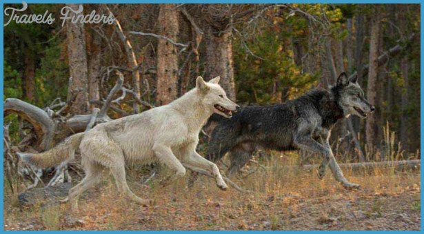 wolf (right) and his mate run near the FIrehole River in Yellowstone ...
