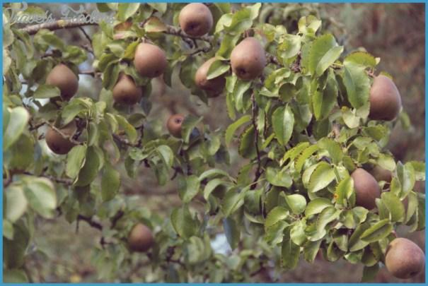 pear-tree1.jpg