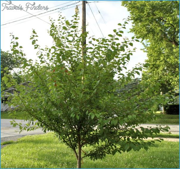 Plum-Tree-Needs-Summer-Pinching.jpg
