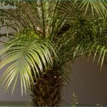 Pygmy-Date-Palm1.jpg