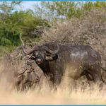 Buffalo-Walking-Safaris-Iconic-Africa.jpg
