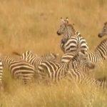 explore the nature of il moran camp in kenya360p 05