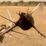 explore the nature of il moran camp in kenya360p 28