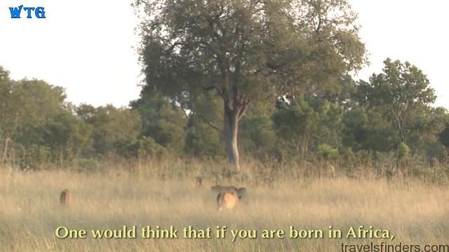 lions of zimbabwe hd 1080p 03
