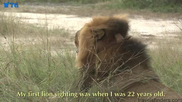 lions of zimbabwe hd 1080p 04