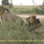 lions of zimbabwe hd 1080p 05