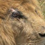 lions of zimbabwe hd 1080p 10