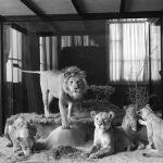 lions of zimbabwe hd 1080p 11