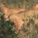 lions of zimbabwe hd 1080p 14