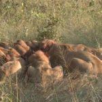 lions of zimbabwe hd 1080p 15