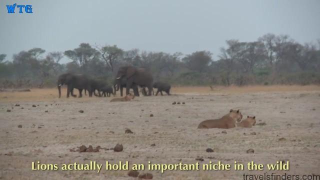 lions of zimbabwe hd 1080p 16