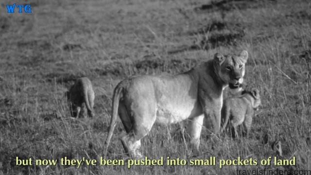 lions of zimbabwe hd 1080p 22