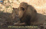 lions of zimbabwe hd 1080p 27