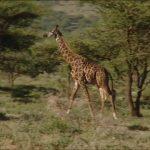 ngorongoro crater tanzania safaris hd 1080p 26