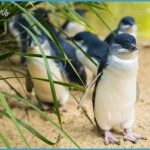 Melbourne  Phillip Island Little Penguins Parade_0.jpg