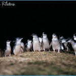 Melbourne  Phillip Island Little Penguins Parade_10.jpg