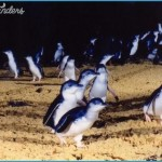 Melbourne  Phillip Island Little Penguins Parade_13.jpg